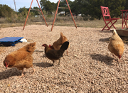 Free range TX chickens
