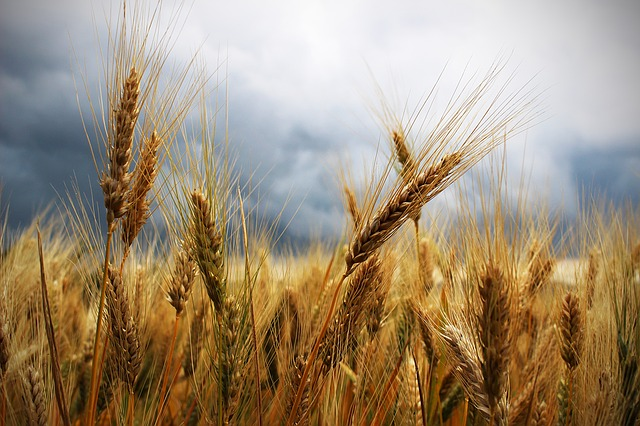 Strategic partnership yields 3,000 tonnes wheat harvest for small-scale North West farmers