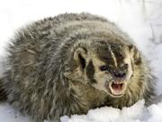 Really Pissed Badger