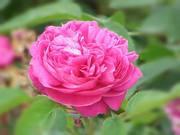 Българската роза
