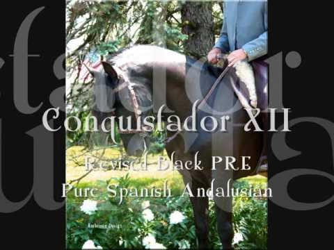 Conquistador - PRE Black Stallion training Doma Vaquera