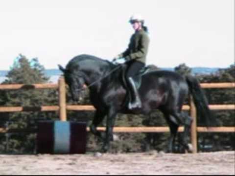 Conquistador XII - Black PRE Andalusian Stallion