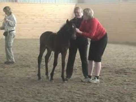 """A foals first """"training sesions""""."""
