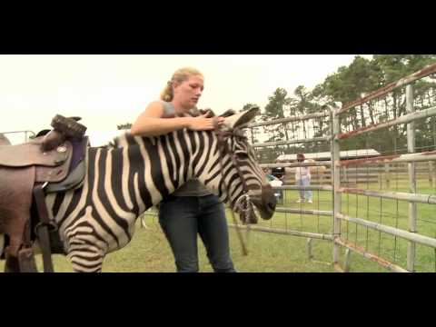 Riding, Driving, and Long Lining Zebras!