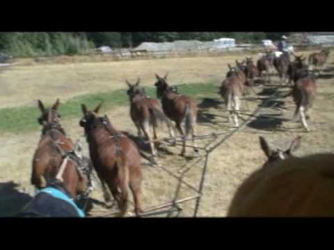 Driving a 20 Mule Wagon Train