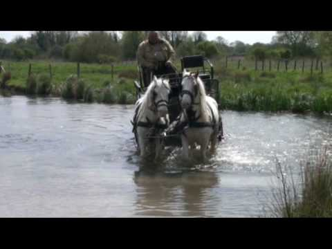 Training a Cob Pair on the Roads of England and in the Water
