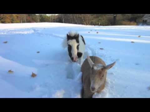 Einstein, the Smallest Stallion, is Now a Goat Herder!