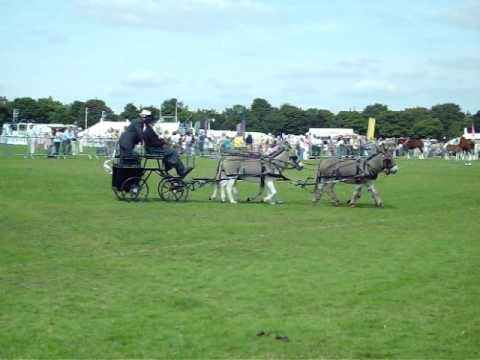 A Four-in-Hand Donkey Driving Team