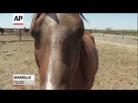 In Texas, Cloned Horses Move on to Competition