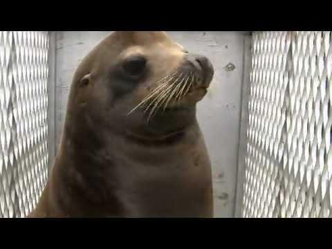 500-pound California sea lion released
