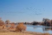 Geese over Dodd Reservoir