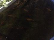 female fish