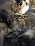 Clustered Ducklings