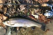 "15.25"" Rainbow Trout (11-19-19)"