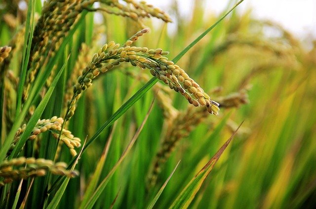 Ghana government targets 2022 to ban importation of rice