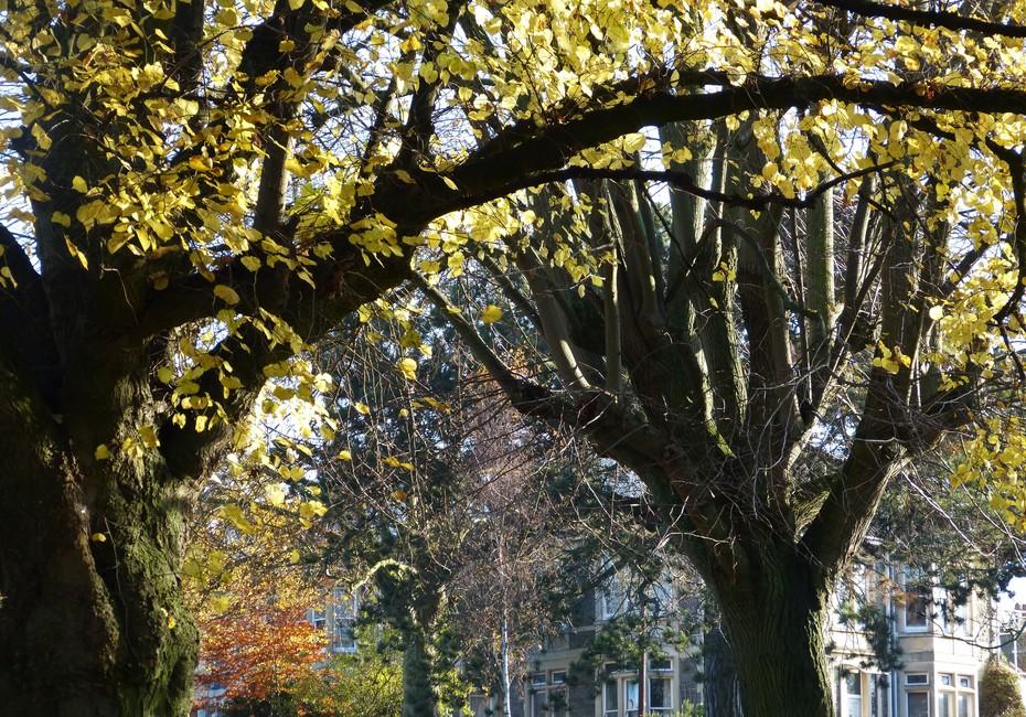A few Lime leaves still not fallen, Nov 29th '19
