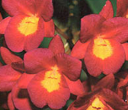 Boca Raton Orchid Society Valentine's Orchid Show and Sale