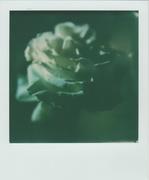 La ricerca della bellezza più semplice (rosa bianca)