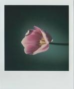 La ricerca della bellezza più semplice (tulipano)