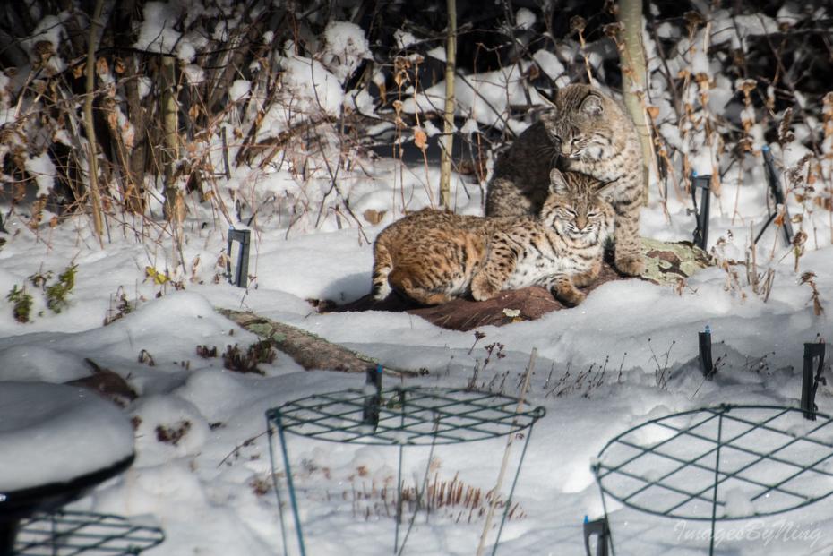 Bobcats in the backyard!