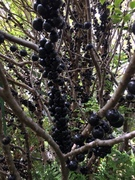 Jaboticaba Fruit Time Jan 2020