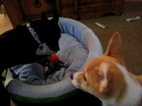Nikita the corgi puppy steals treat from Peppy