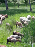 Ewes going after a favored snack.