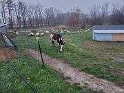 Sheep and Donk drylot