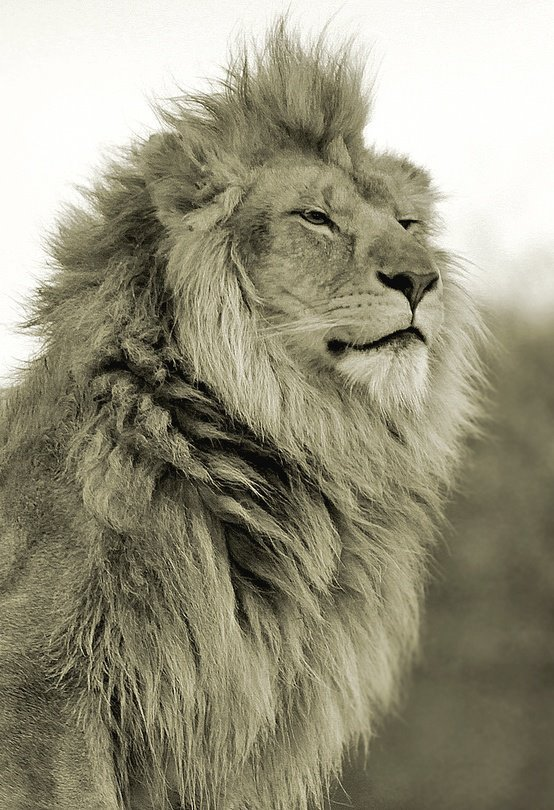 PROUD MALE LION