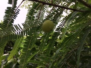 Amla fruit 18_1_2020