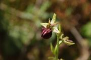 Άγρια ορχιδέα Ophrys grammica