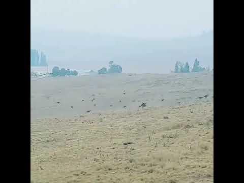 Canguros huyen de incendios en Australia