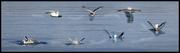 Gull_post
