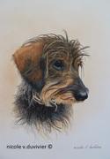 Portrait de téckel nain - 01-2020- nicole v.duvivier ©