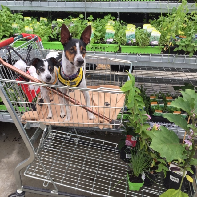 Buddy and Girlie at Bunnies buying Pet grass