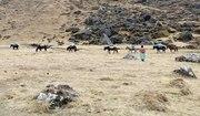 Mule Caravan