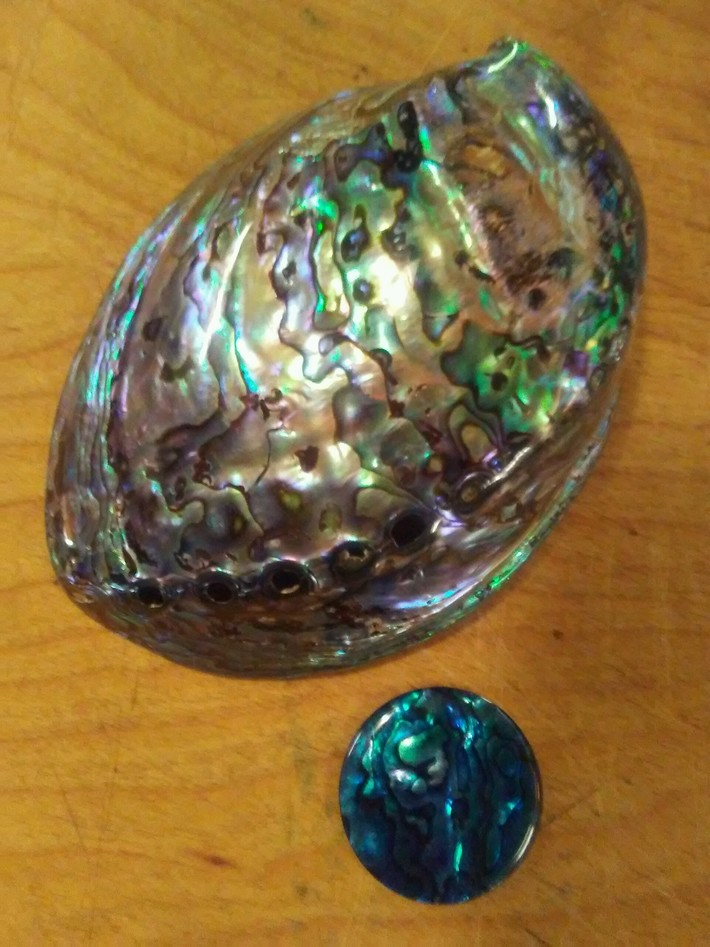 Paua Shell (Abalone Family).