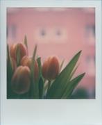 Tulipani #7