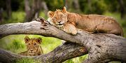 Lion Resting on log
