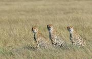 Family of cheetah