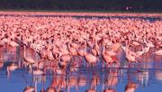flamingos-at-lak-nakuru
