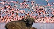 Shores of Lake Nakuru, with Buffaloes and Flamingos