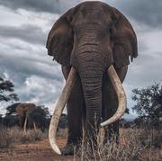 Oldest Bull Elephant At Amboseli National Park