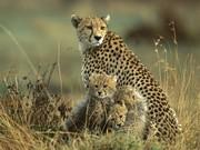 Cheetah with cabs maasai-mara