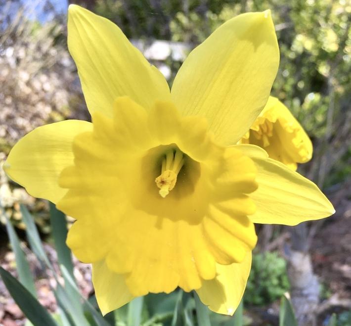 Portrait of a Daffodil