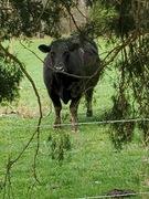 cow neighbor - bike Ride social distancing saturday