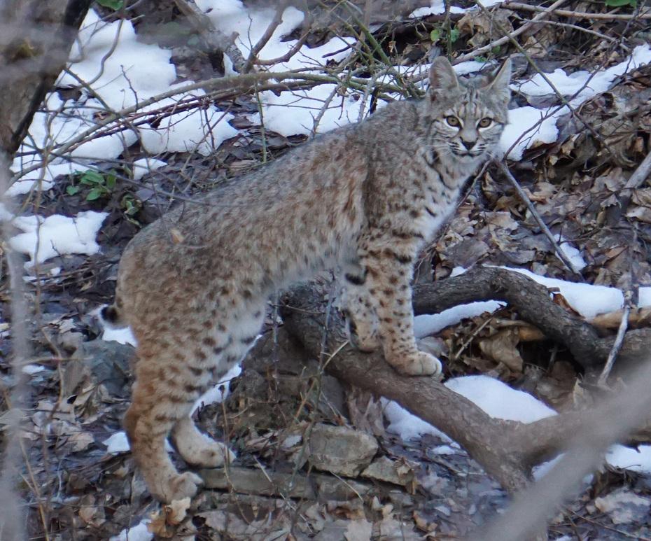 Boulder Bobcat