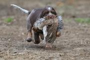 Run Dog du Domaine d'iron