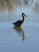Blue Heron with a prized fish from Twin Lakes