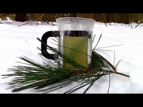 Wild Food Foraging- Pine Needle Tea